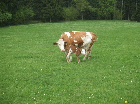 Urlaub in Neustift - Bio Bauerhof Stadler - Kuh mit Kälbchen